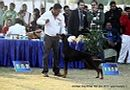 Amritsar Dog Show 2012 | dobemann,ex-164,sw-65,