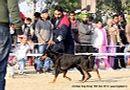 Amritsar Dog Show 2012 | dobemann,ex-166,sw-65,