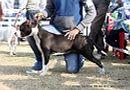 Amritsar Dog Show 2012 | ex-55,staffordshire bull terrier,sw-65,