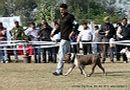 Amritsar Dog Show 2012 | staffordshire bull terrier,sw-65,