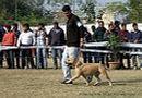 Amritsar Dog Show 2012 | ex-58,staffordshire bull terrier,sw-65,