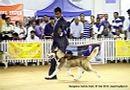 Bangalore Canine Club 2014   ex-364,siberian husky,sw-138,