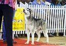 Bangalore Canine Club 2014   ex-368,siberian husky,sw-138,