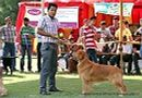 Capital Kennel Club - 2014 | ex-49,golden retriever,sw-128,