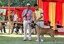 Capital Kennel Club - 2014 | bull mastiff,bullmastiff,ex-78,sw-128,