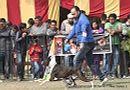 Chandigarh Dog Show 2013 | boxer,ex-175,sw-75,