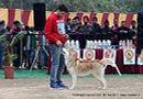 Chandigarh Dog Show 2013   ex-274,siberian husky,sw-75,