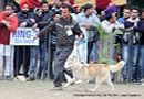 Chandigarh Dog Show 2013   ex-277,siberian husky,sw-75,