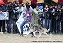 Chandigarh Dog Show 2013   ex-276,siberian husky,sw-75,
