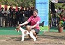 Chandigarh Dog Show 2013 | fox terrier,sw-75,ex-45