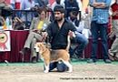 Chandigarh Dog Show 2013 | beagle,ex-85,sw-75,