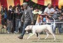 Chandigarh Dog Show 2013   dogo argentino,sw-75,ex-197