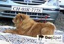 Dehradun Dog Show 2008 | Chow,