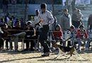 Dehradun Dog Show 2012 | beagle,ex-61,sw-73,