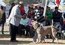 Dehradun Dog Show 2012   ex-172,judging,neapolitan mastiff,sw-73,