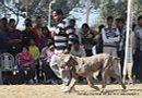 Dehradun Dog Show 2012   ex-172,neapolitan mastiff,sw-73,