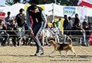 Dehradun Dog Show 2012 | beagle,ex-53,sw-73,