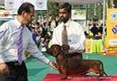 Delhi Dog Show 2012 | dachshund,ex-75,sw-67,