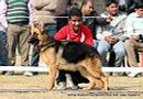 German Shepherd Dog Specialty Show Delhi | german shepherd dog specialty show delhi