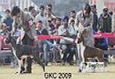 Gurgaon Dog Show | Boxer,