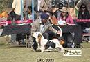 Gurgaon Dog Show | Basset,