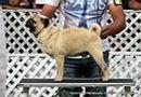 Jabalpur Dog Show 2 Nov 2014 | ex-8,pug,sw-127,