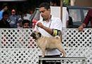 Jabalpur Dog Show 2 Nov 2014 | ex-10,pug,sw-127,