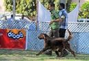 Jabalpur Dog Show 2013 | ex-60,irish setter,sw-81,