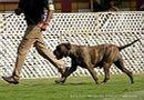 Jabalpur Dog Show 2013   bullmastiff,ex-104,sw-87,