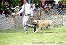 Jabalpur Dog Show 2013   bullmastiff,ex-107,sw-87,