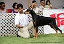 Jabalpur Dog Show 2013   doberman,ex-109,sw-87,