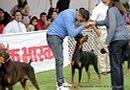 Jabalpur Dog Show 2013   doberman,ex-112,sw-87,