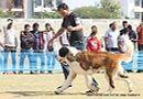 Jaipur Dog Show 2013 | ex-184,stbernard,sw-84,