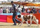 Jaipur Dog Show 2013 | ex-185,stbernard,sw-84,
