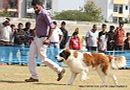Jaipur Dog Show 2013 | stbernard,sw-84,