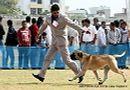 Jaipur Dog Show 2013 | bull mastiff,ex-125,sw-84,