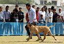 Jaipur Dog Show 2013 | bull mastiff,ex-126,sw-84,