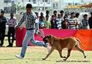 Jaipur Dog Show 2013 | bull mastiff,ex-127,sw-84,