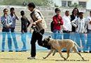 Jaipur Dog Show 2013 | bull mastiff,sw-84,