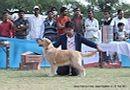 Jaipur Kennel Club | ex-93,golden,sw-34