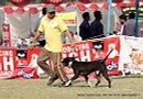 Kanpur Dog Show 2012 | ex-214,staffordshire bull terrier,sw-72,