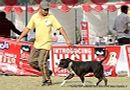 Kanpur Dog Show 2012 | staffordshire bull terrier,sw-72,ex-214
