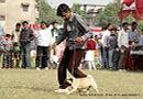 Kanpur Dog Show 2013 | ex-13,pug,sw-97,