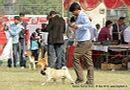 Kanpur Dog Show 2013 | ex-15,pug,sw-97,