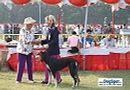 Lucknow Dog Show 2010 | sw-8, ex-97,saluki,