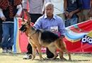 Lucknow Dog Show 2011 | ex-277,gsd,sw-43,