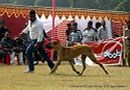 Lucknow Dog Show 2012 | ex-166,great dane,sw-71,
