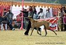 Lucknow Dog Show 2012 | ex-168,great dane,sw-71,