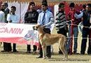 Lucknow Dog Show 2012 | ex-163,great dane,sw-71,