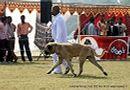 Lucknow Dog Show 2012 | bull mastiff english,ex-169,sw-71,